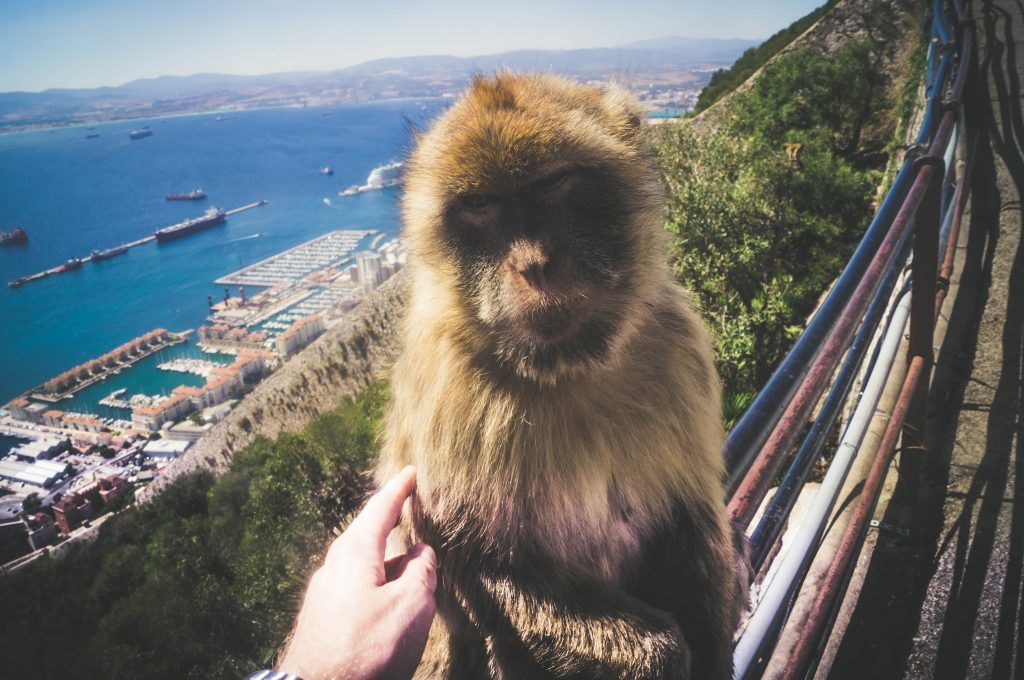 Rock of Gibraltar Macaque