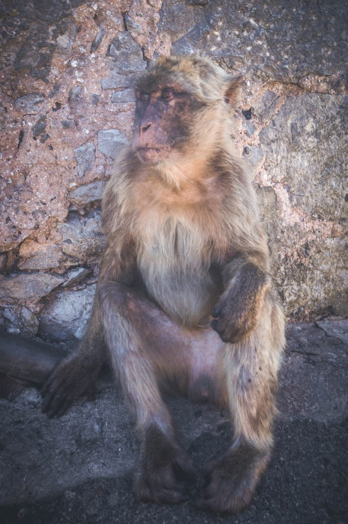 Rock of Gibraltar Vicious Macaque