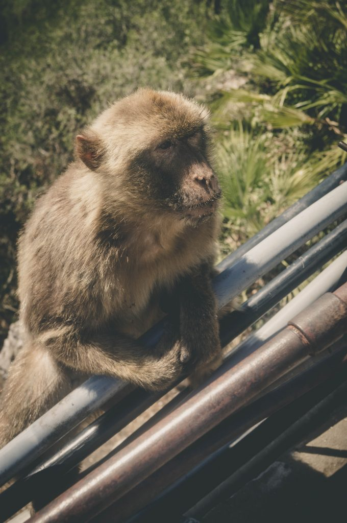 Rock of Gibraltar macaques